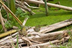 青蛙家庭5 免版税库存图片