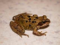 青蛙年轻人 免版税库存照片