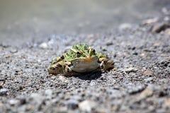 青蛙开会 免版税库存照片