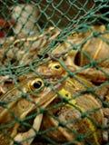 青蛙待售 免版税图库摄影