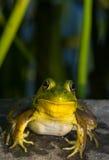 青蛙微笑 库存照片