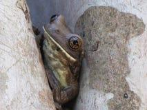 青蛙掩藏 库存图片