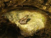 青蛙晒黑 免版税图库摄影