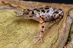 青蛙有腿的红色运行中 库存照片