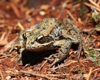 青蛙有腿的红色 免版税库存图片