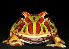 青蛙有角华丽 库存图片