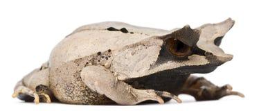 青蛙有角的长的megophrys nasuta引导了 免版税库存图片
