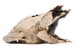 青蛙有角的长的megophrys nasuta引导了 免版税图库摄影