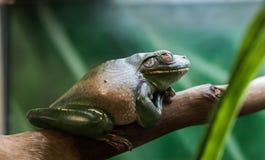 青蛙有嘴结构树白色 免版税图库摄影