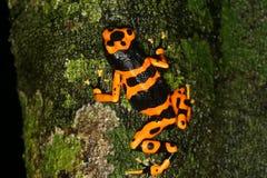 青蛙朝向毒物黄色 图库摄影