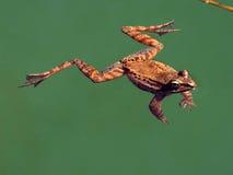 青蛙木头 图库摄影