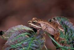 青蛙木头 免版税图库摄影