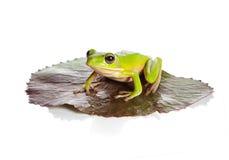青蛙查出的叶子 免版税库存照片