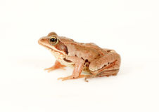 青蛙查出的坐的白色 免版税库存照片