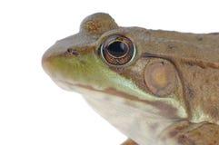 青蛙查出的木头 库存图片