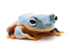 青蛙查出的白色 库存照片