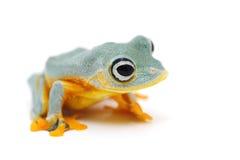 青蛙查出的白色 免版税库存图片