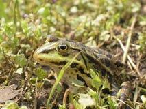 青蛙模仿 免版税库存照片