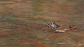 青蛙水 图库摄影