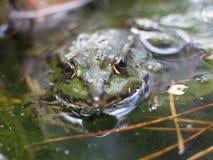 青蛙池塘 库存图片