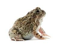 青蛙沙子 免版税库存图片
