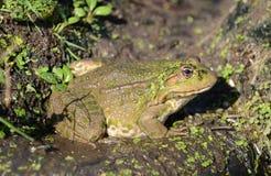 青蛙沼泽纵向 免版税库存图片