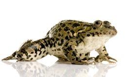 青蛙沼泽蛙属ridibunda 免版税图库摄影