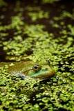 青蛙沼泽 免版税库存照片