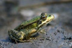 青蛙沼泽 免版税库存图片