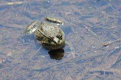 青蛙浅水区 库存照片