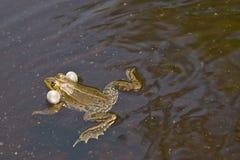 青蛙游泳 免版税库存图片
