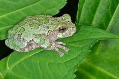 青蛙灰色结构树 图库摄影