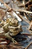 青蛙爱 库存照片