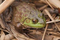 青蛙特写镜头在自然生态环境 图库摄影