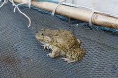 青蛙特写镜头细节动物宠物艺术 库存图片