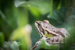 青蛙特写镜头在庭院里 模糊的叶子和早午餐在背景 库存图片