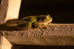 青蛙特写镜头在晚上 库存照片