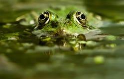 青蛙狩猎 图库摄影