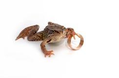 青蛙环形婚礼 库存图片