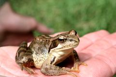 青蛙现有量开会 免版税库存照片