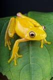 青蛙玻璃黄色 库存图片