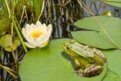 青蛙百合 免版税库存图片