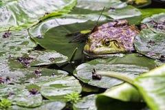 青蛙的一个入侵的种类介绍给奇恩角的美国牛蛙 免版税图库摄影