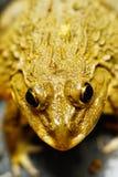 青蛙的两只眼睛在水中 免版税图库摄影