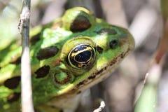 青蛙的反射 免版税库存图片