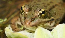 青蛙的宏指令 图库摄影