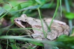 青蛙的特写镜头 免版税图库摄影
