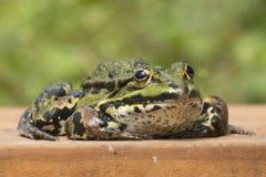 青蛙的特写镜头 免版税库存照片