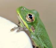 青蛙眼睛 免版税库存照片