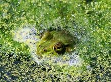 青蛙眼睛 图库摄影